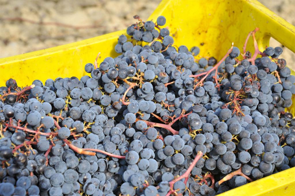 grapes umbria