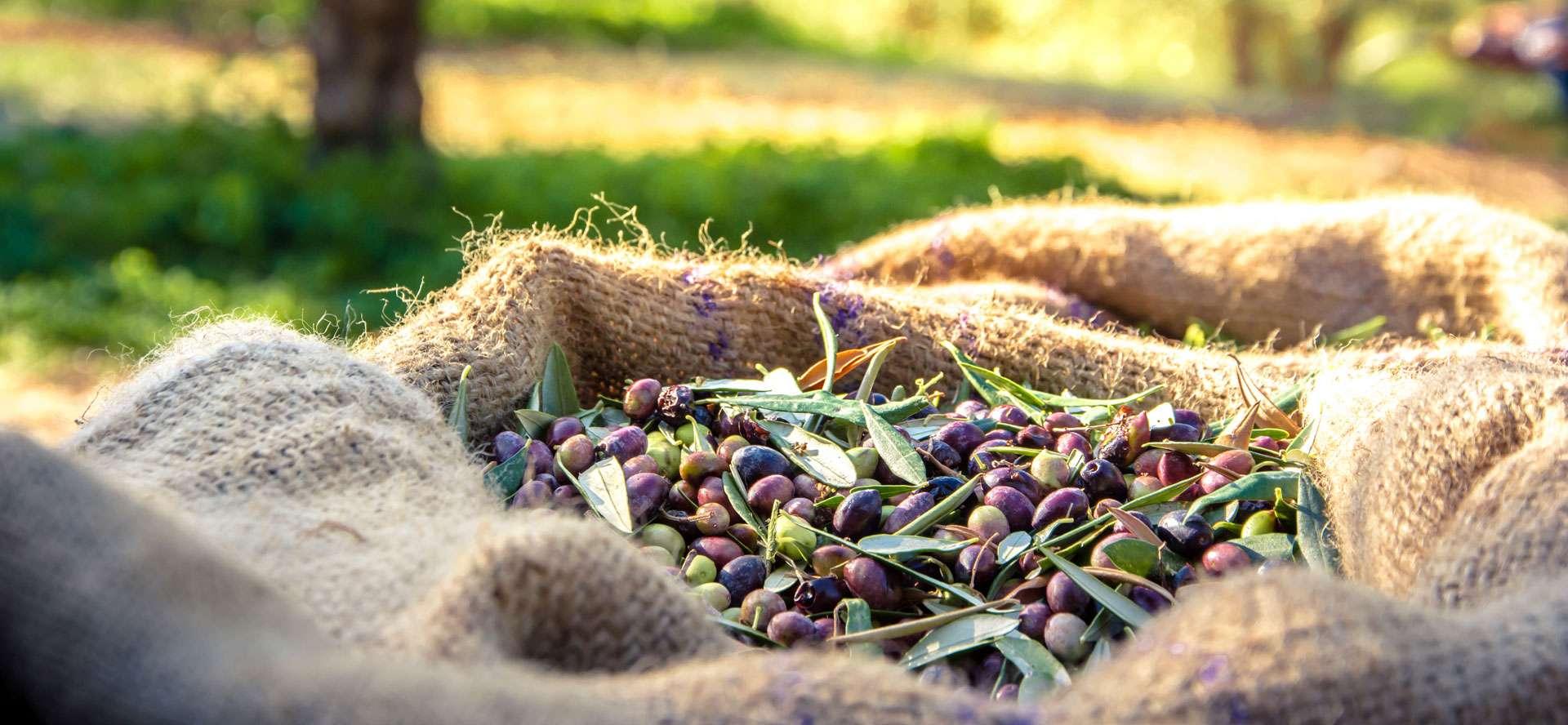 Tasting Tuscany's Extra-Virgin Olive Oil