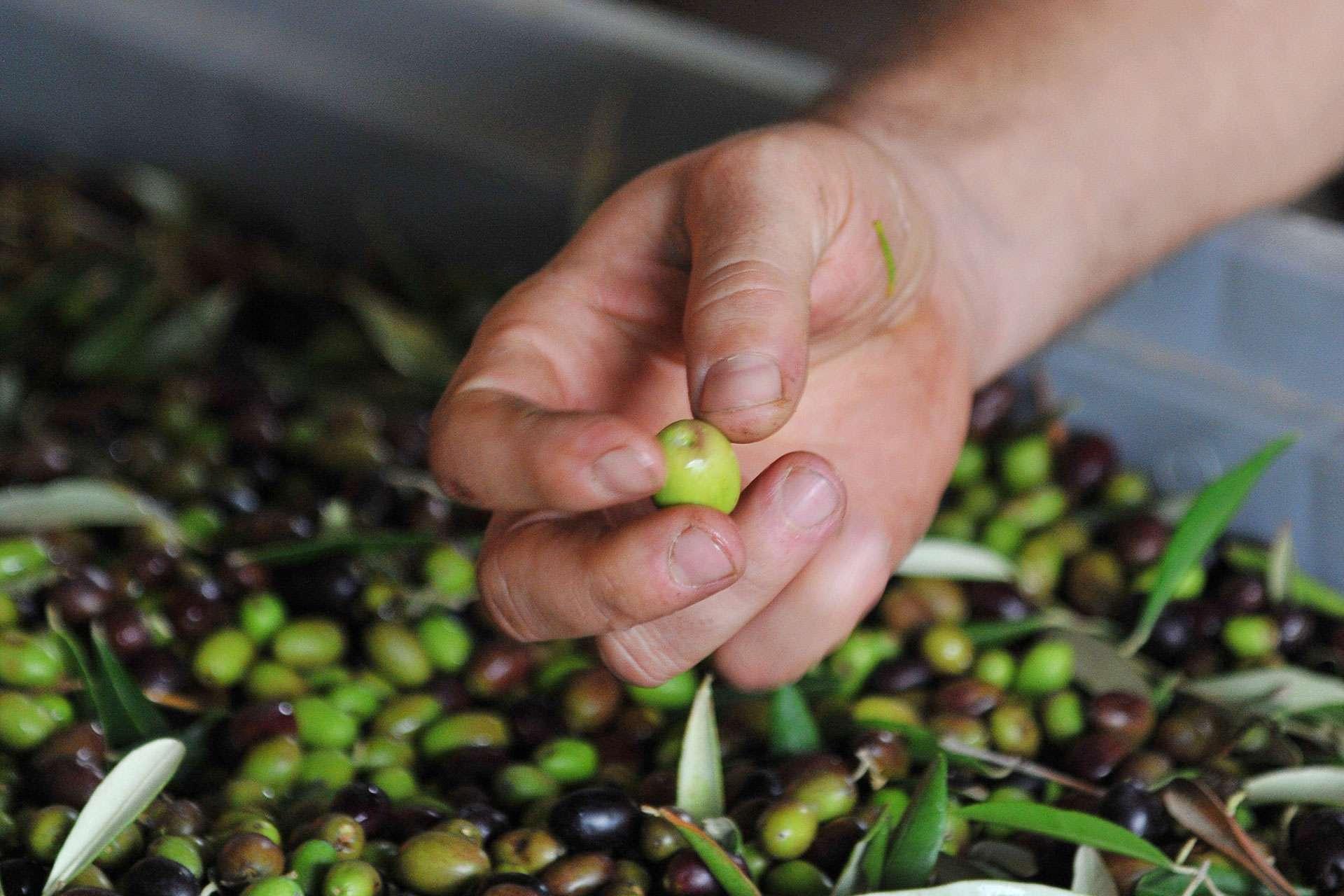 Olive Oil Harvest in Tuscany